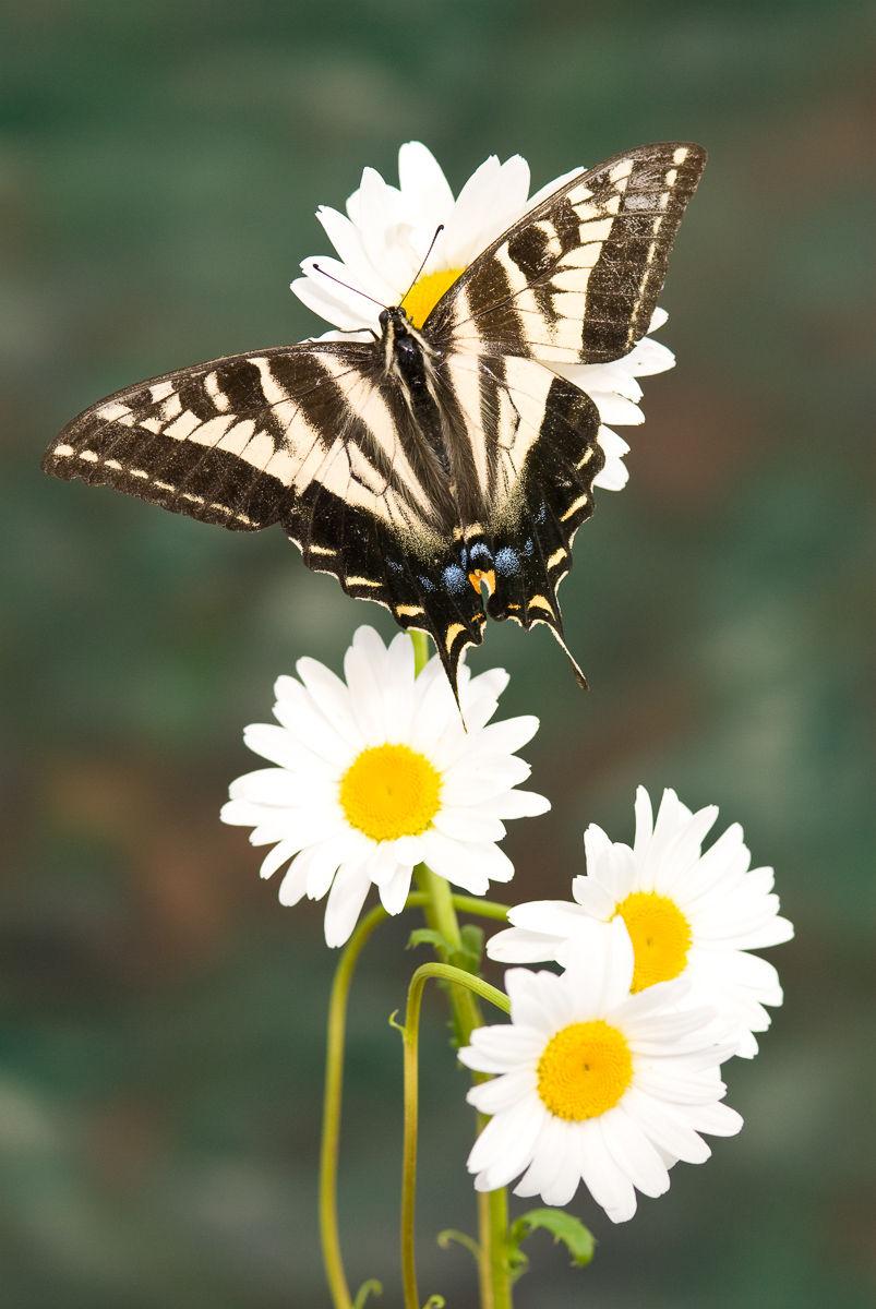 Pale Swallowtail Butterfly (Papilio eurymedon)
