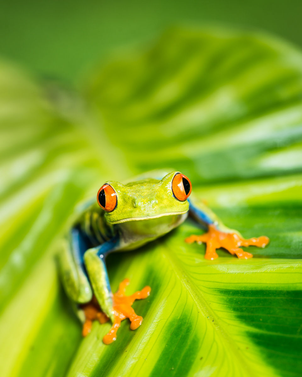 Tropical Red-eyed Tree Frog (Agalychnis callidryas) on Heliconia plant