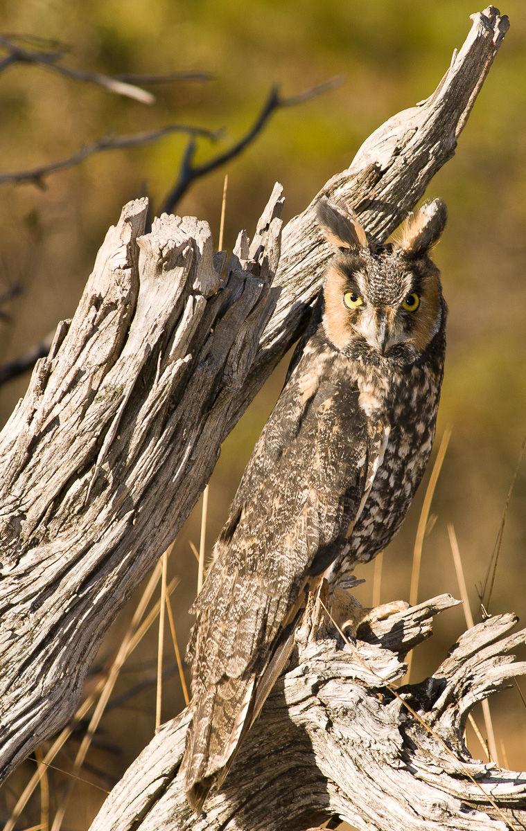 Long-eared Owl perched in dead tree (Asio otus)