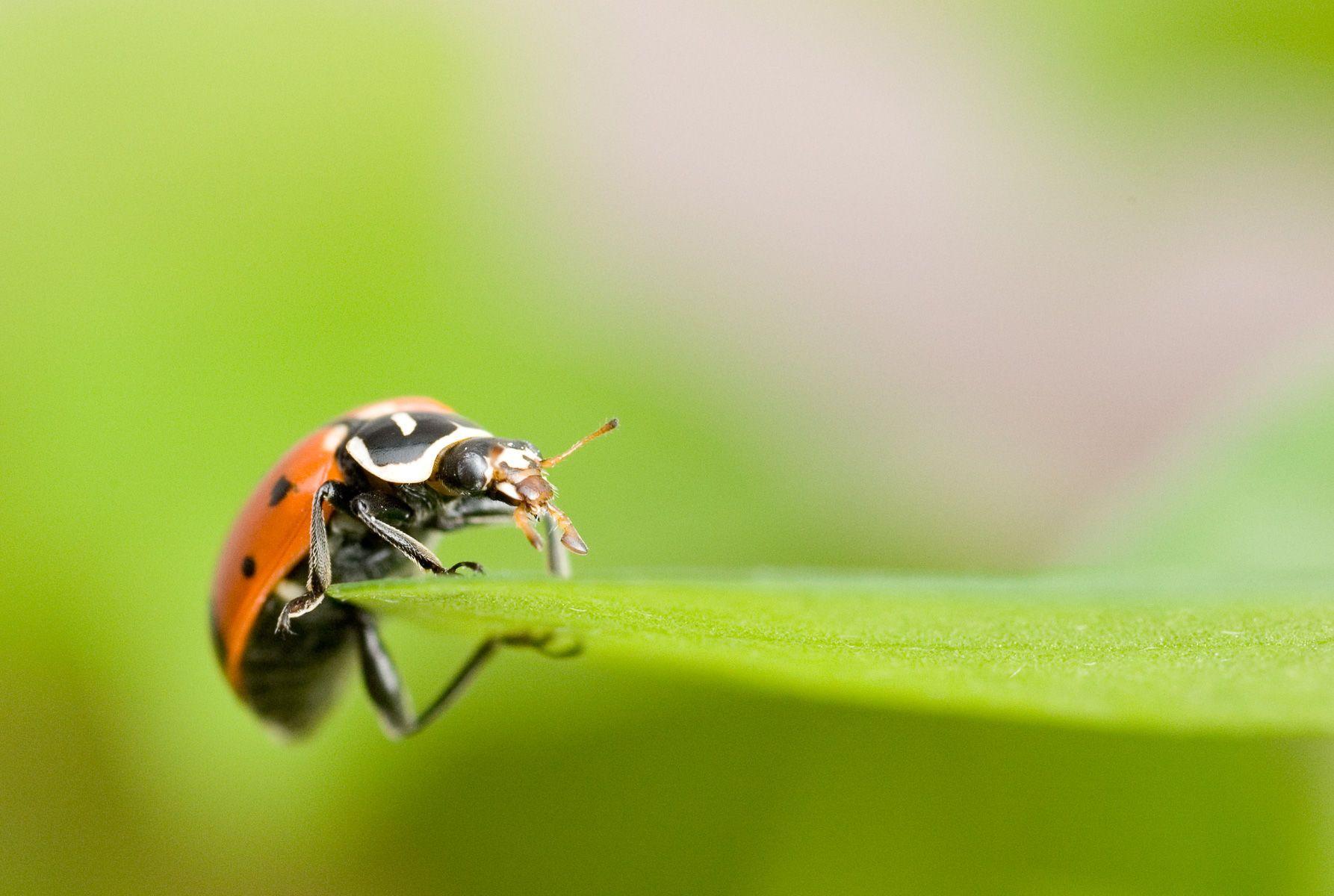 Ladybug (family Coccinellidae)