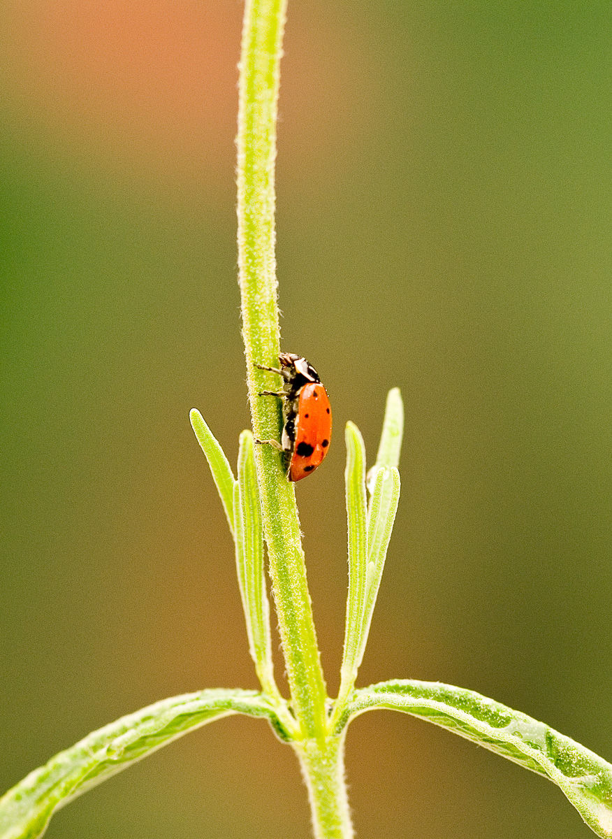 Ladybug searching for aphids