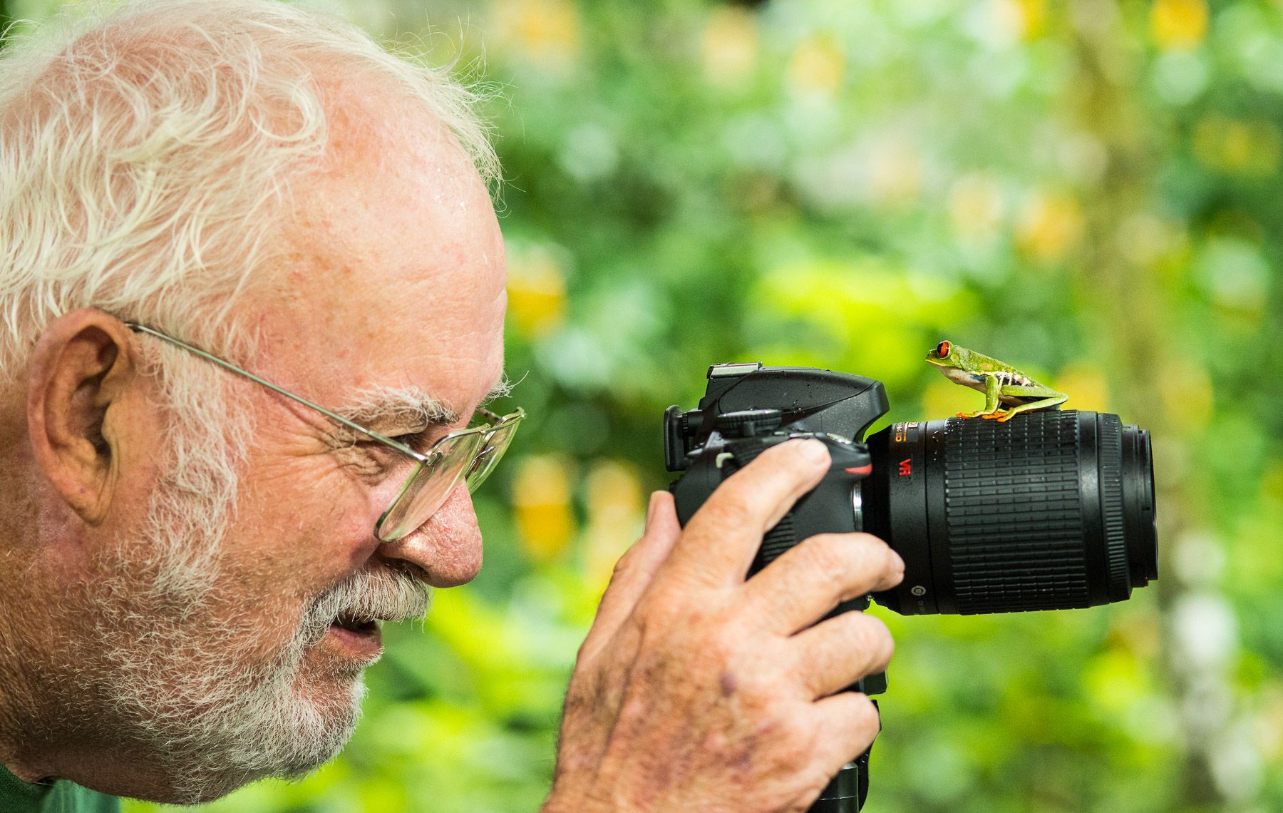 Red-eyed Tree Frog (Agalychnis callidryas) Checks out Photographer