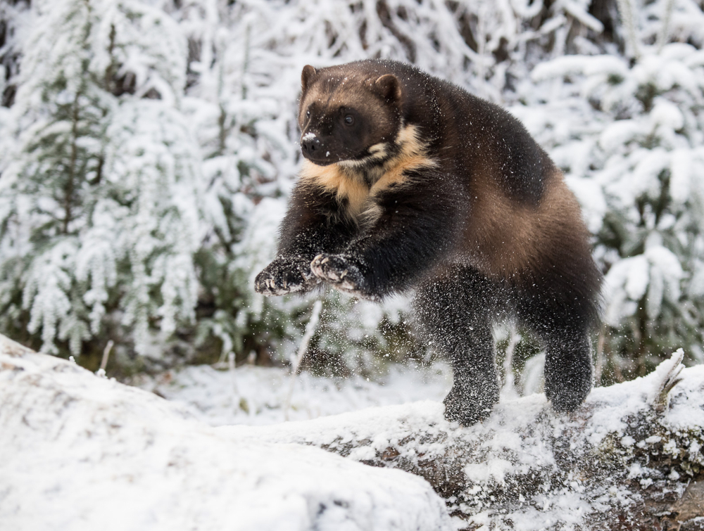 Wolverine-2.jpg