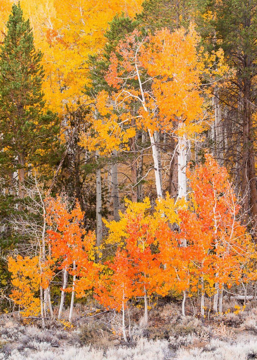 Eastern Sierra Fall Aspen