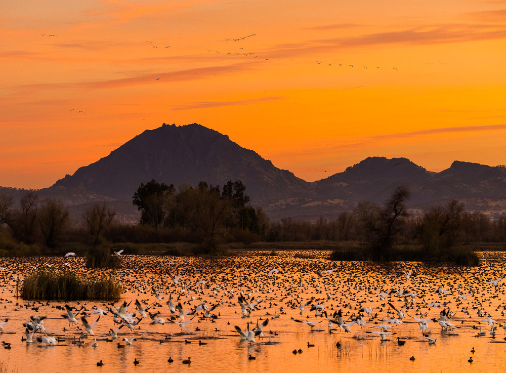 Snow Geese flying at sunset in front of the Sutter Buttes, Grey Lodge Wildlife Refuge