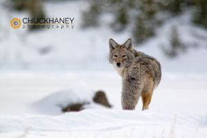 Coyote Winter