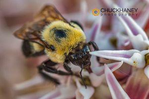 Bumble-Bee-Milkweed_001-425.jpg