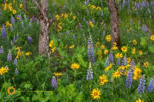 Columbia Gorge Wildflowers