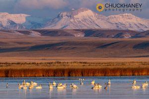 Tundra-Swans_046-502.jpg