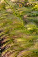 Foxtail-Barley_052-459.jpg