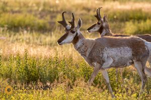 Pronghorn-Antelope_014-481.jpg
