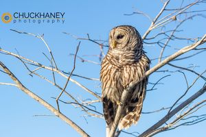 Barred-Owl_025-copy.jpg