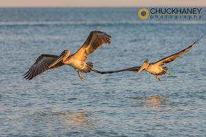 Brown-Pelican_016-448.jpg