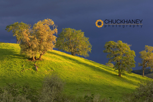 Oak Trees on Hillside