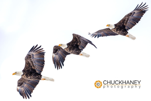 Bald-Eagle-Sequence-411.jpg