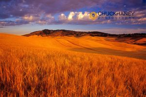 Barley Palouse