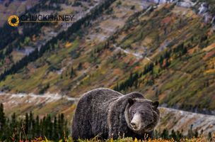 Grizzly-Bear_006-511.jpg