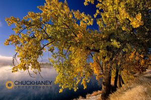 Missouri River Cottonwood 2