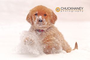 Golden Retriever Pup in Snow