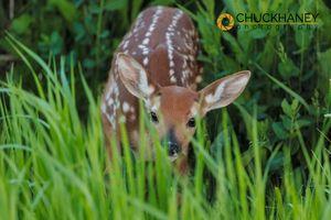 Mule-Deer-Fawn_002-426.jpg