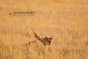 Pheasant Courtship