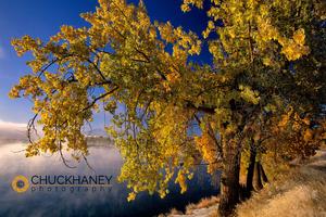 Missouri River Cottonwood 2