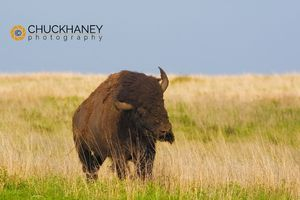 Tallgrass bison