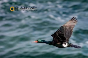 Pelagic-Cormorant_001-copy.jpg