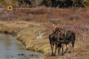 Moose-Madison_002-copy.jpg