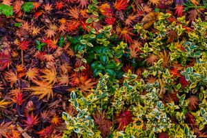 J-Maple-Leaves_022-406.jpg