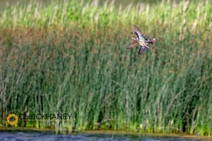 Blue-Winged-teal_003-copy.jpg