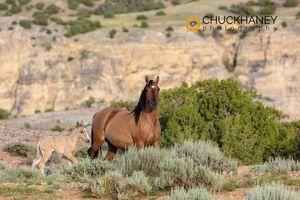 Wild-Horses-Pryors_003-457.jpg