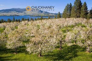 Flathead Cherry Blossoms