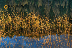 Spencer Lake Reeds