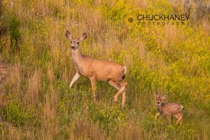 Mule-Deer-Doe-Fawn_006-427.jpg