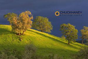 Oak Trees on Hillside