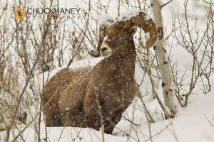Bighorn Ram Winter
