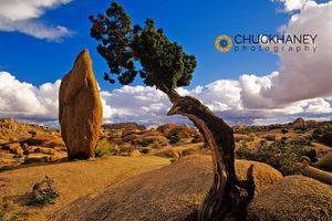 Juniper___joshua_tree_copy.jpg