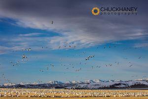 Snow-Geese_042-449.jpg
