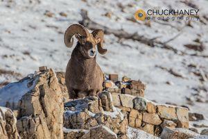 Bighorn-Ram-Winter_056-copy.jpg