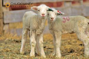 Pair of Targhee Lambs