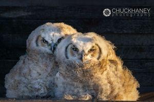 Great-Horned-Owl_008-507.jpg