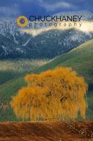 Willow Tree Swan Range