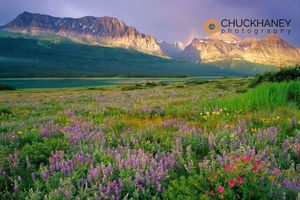 Prairie wildflowers, Glacier National Park