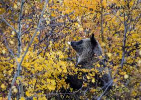 Grizzly-Bear_049-437.jpg