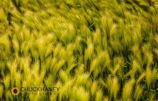 Foxtail_barley_008_396.jpg