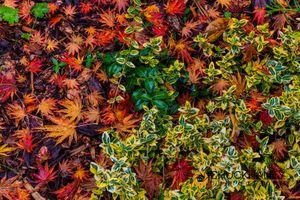 J-Maple-Leaves_022-406.jpg