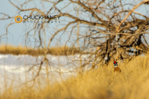 Pheasant-Male_018-449.jpg