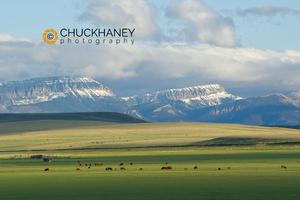 Front Range Cattle