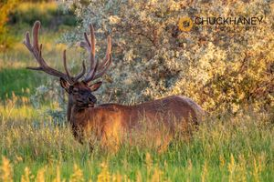 Elk-Velvet_003-481.jpg